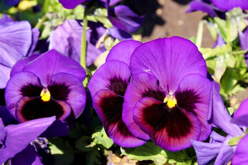 Pens?en ?r en fantastisk blomma, och dess f?rgkombination ?r stor Altfiol tricolor var hortensis Viola Wittrockianna Pansy arkivfoton