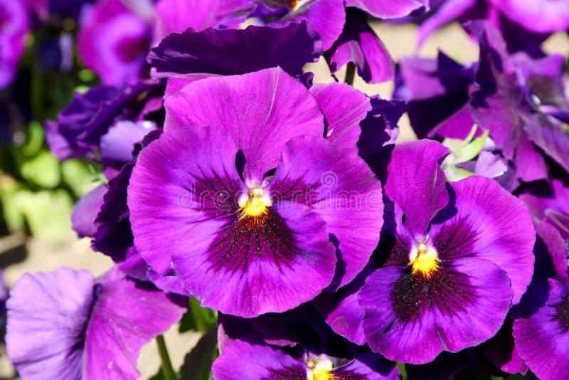 Pens?en ?r en fantastisk blomma, och dess f?rgkombination ?r stor Altfiol tricolor var hortensis Viola Wittrockianna Pansy arkivfoto