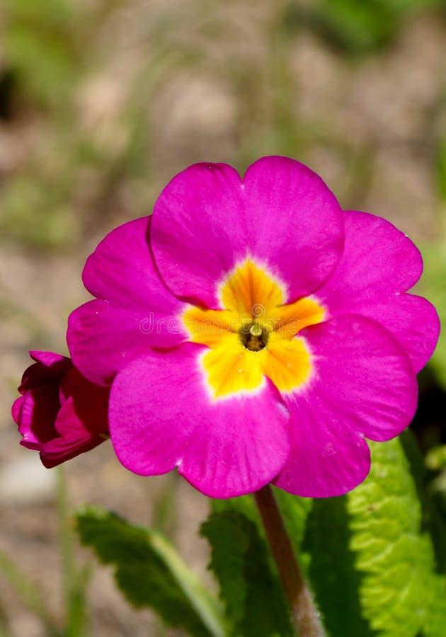 Pens?en ?r en fantastisk blomma, och dess f?rgkombination ?r stor Altfiol tricolor var hortensis Viola Wittrockianna Pansy arkivbild