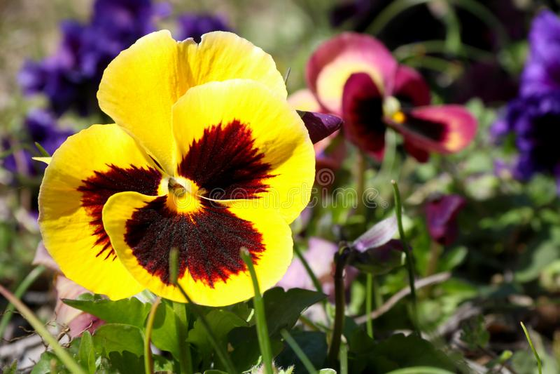 Pens?en ?r en fantastisk blomma, och dess f?rgkombination ?r stor Altfiol tricolor var hortensis Viola Wittrockianna Pansy royaltyfri foto