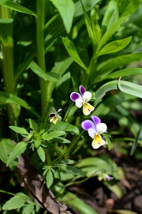 Pens?en ?r en fantastisk blomma, och dess m?ng- f?rgkombination ?r stor Selektivt fokusera arkivbilder