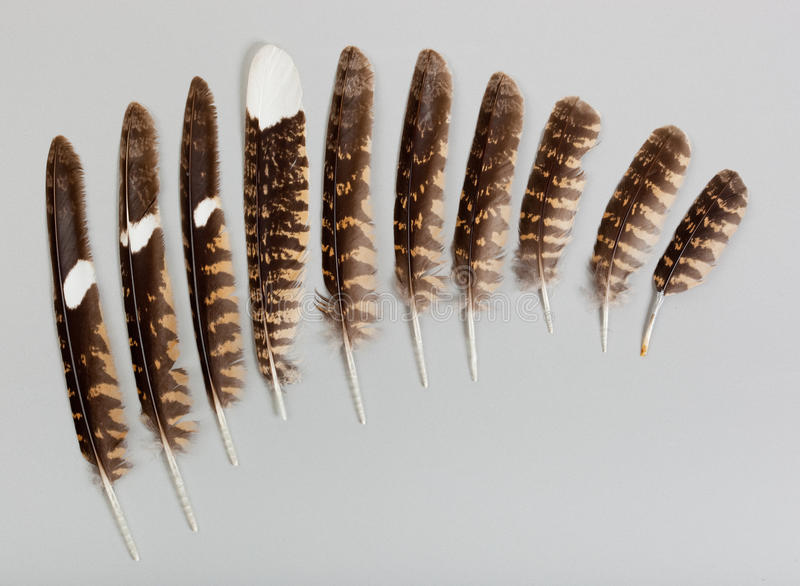 Pens of a European Nightjar, Goatsucker royalty free stock images