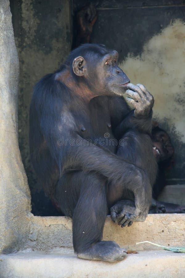 Pensamento do macaco imagens de stock
