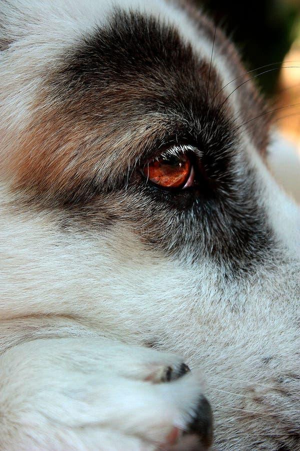 Pensamento vermelho triste do olho do cão foto de stock royalty free