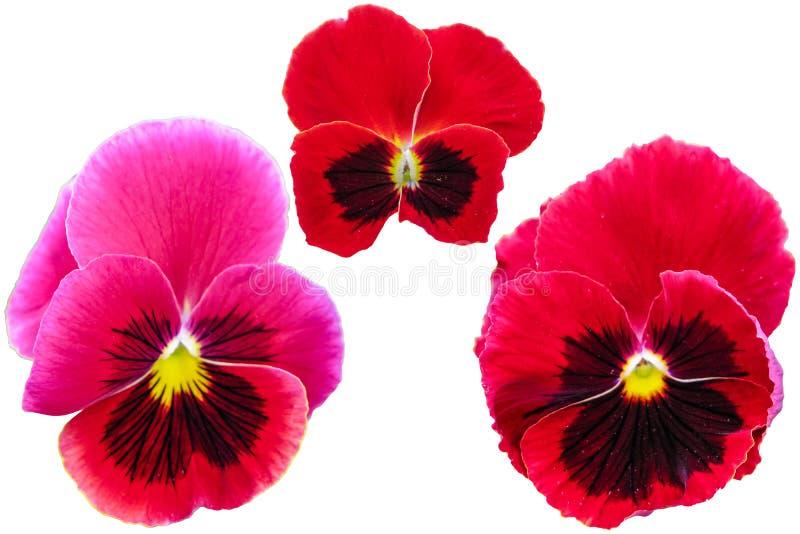 Pensamiento aislado en el fondo blanco Primer macro amarillo azul rojo tricolor de la viola imagenes de archivo