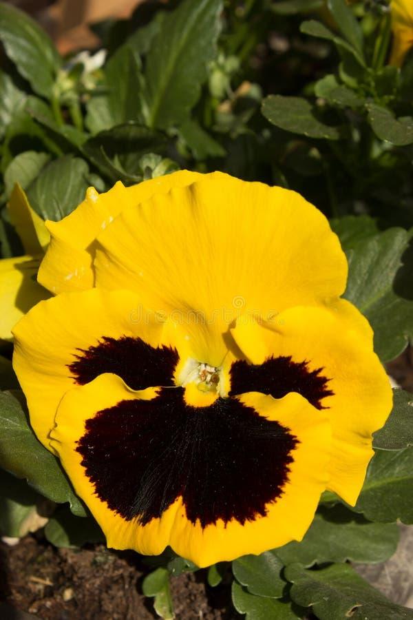 Pensamiento amarillo de la primera primavera imagen de archivo libre de regalías