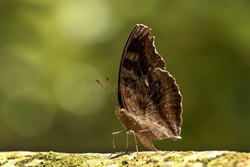 Pensamiento del chocolate de la mariposa foto de archivo libre de regalías