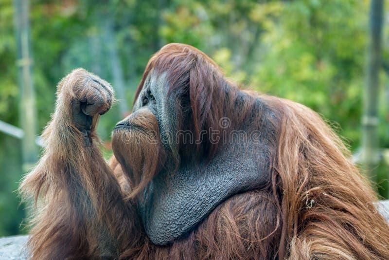 Pensamiento del mono del orangután imagenes de archivo