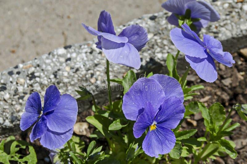 Pensamiento púrpura de la primavera, altaica de la viola o flor violeta cubierta con la nieve, Pancharevo imagenes de archivo