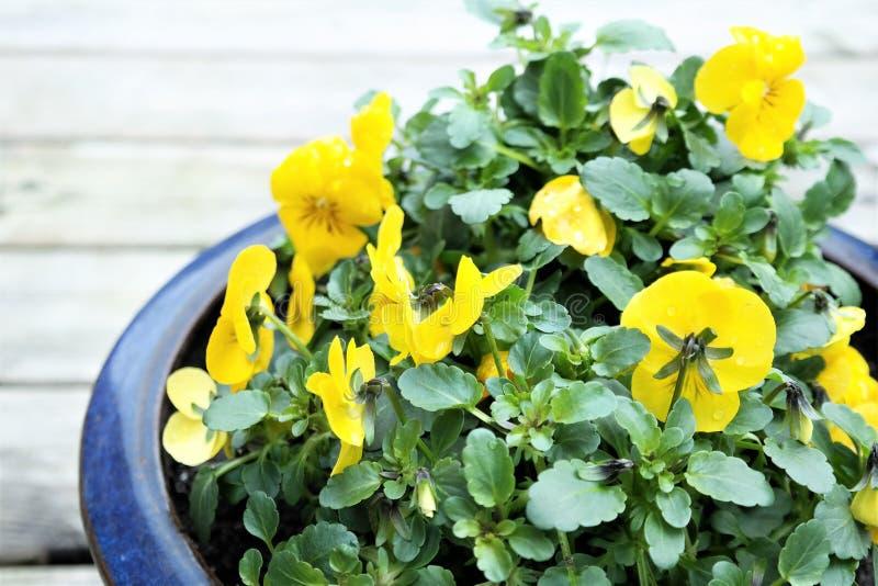 Pensamiento salvaje o viola en el pote azul, flor amarilla de la primavera foto de archivo