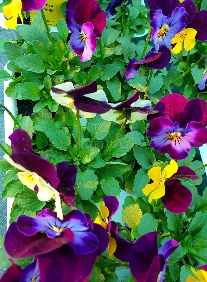 Pensamientos amarillos, de la púrpura y del añil con el follaje verde, fotografiado en Bloemfontein, Suráfrica imágenes de archivo libres de regalías