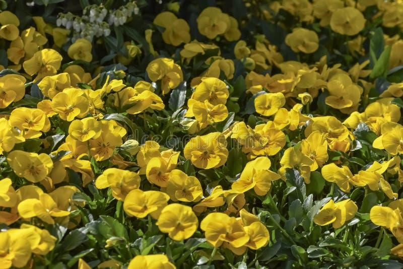 Pensamientos amarillos que exhiben el un pétalo traslapado superior, los pétalos bilaterales, y el solo pétalo inferior Flores pa imagen de archivo libre de regalías