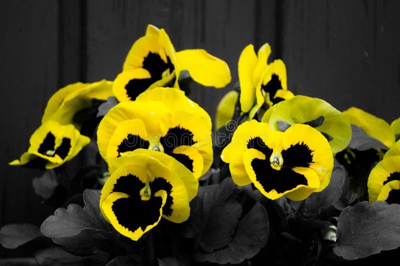 Pensamientos amarillos y negros foto de archivo