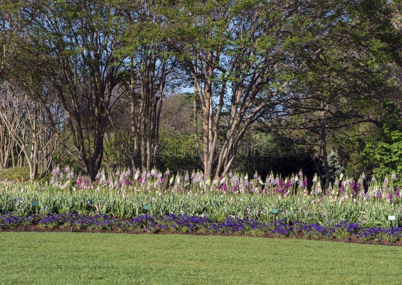 Pensamientos púrpuras, tulipanes rosados, dedalera multicolora con los árboles detrás fotografía de archivo