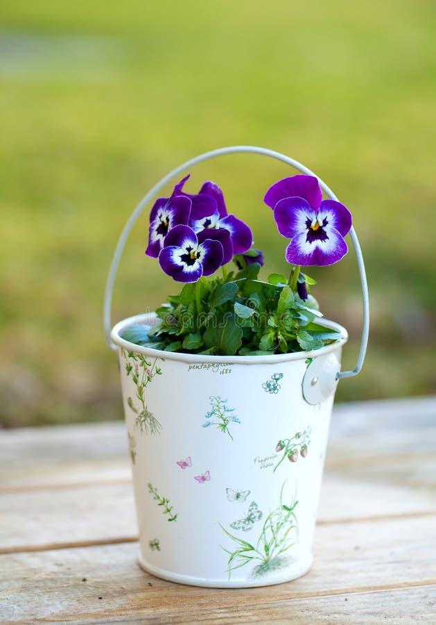 Pensamientos violetas en un tarro romántico al aire libre fotos de archivo