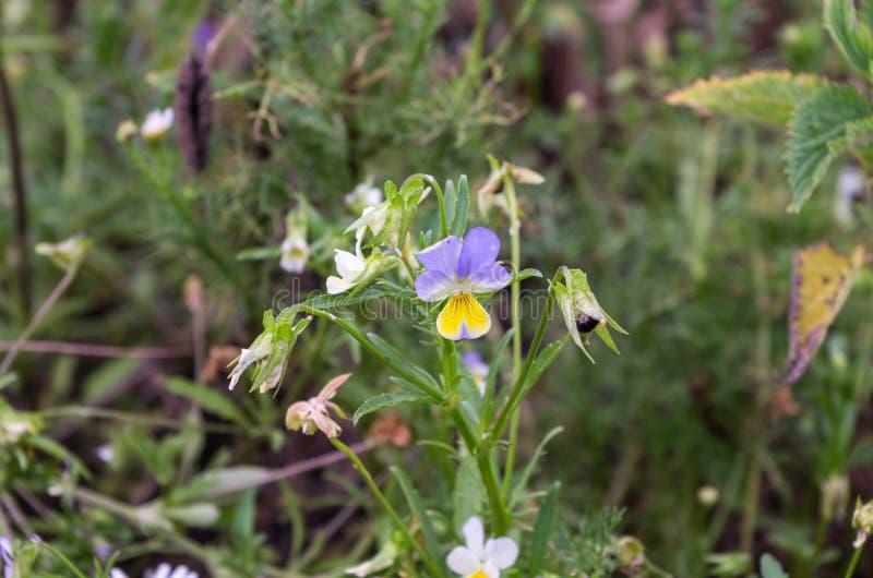 pensamientos Wildflowers en el salvaje fotos de archivo