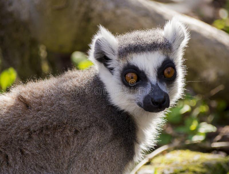 Penser à l'avenir de lémur photographie stock libre de droits