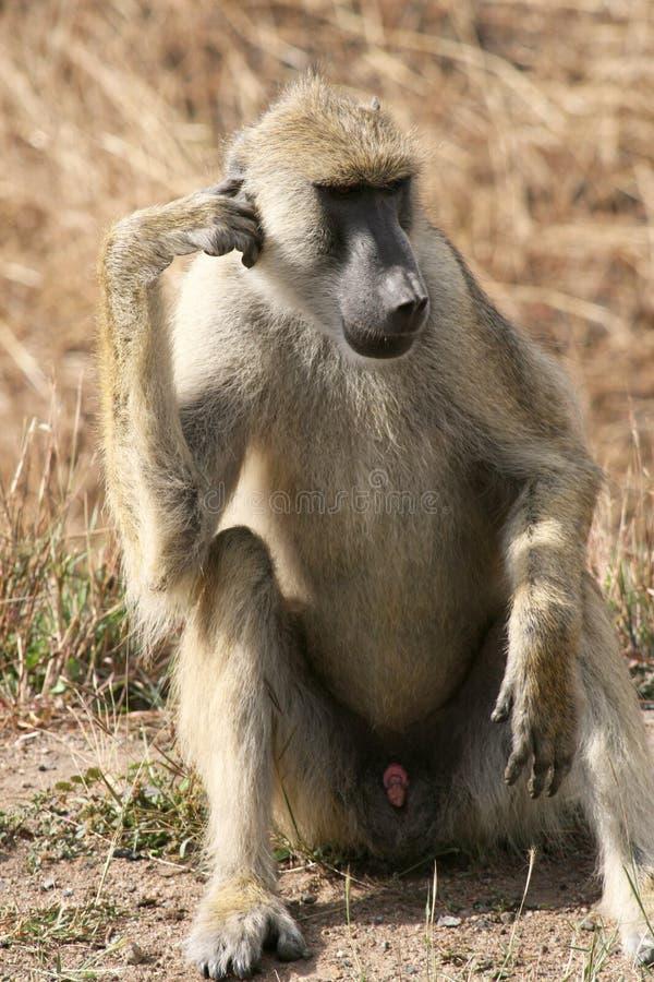 Pensiero del babbuino fotografia stock libera da diritti