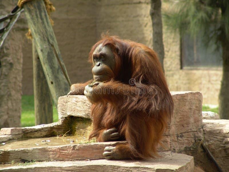 Pensiero Dell Orangutan Fotografia Stock Libera da Diritti