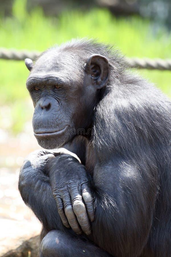 Pensiero dello scimpanzè immagine stock libera da diritti