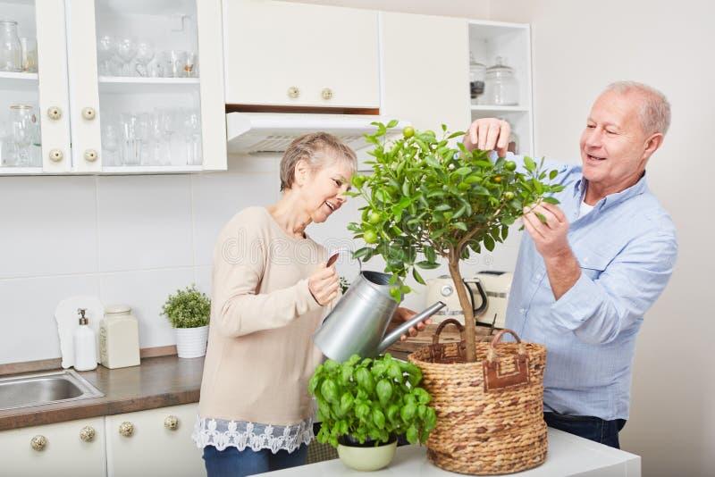 Pensionärer som arbeta i trädgården fruktträdet i kök royaltyfria bilder