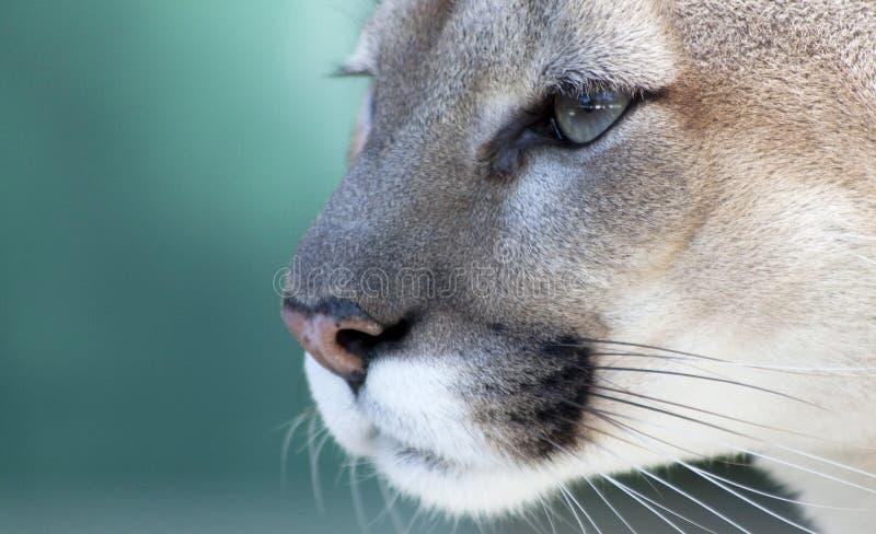 Pensive Florida Panther royalty free stock images