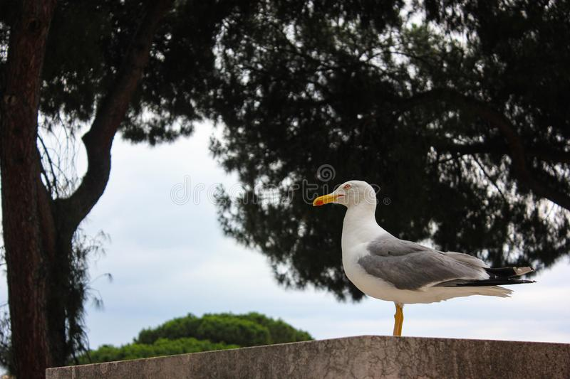 Pensive Gull in Rome stock photography