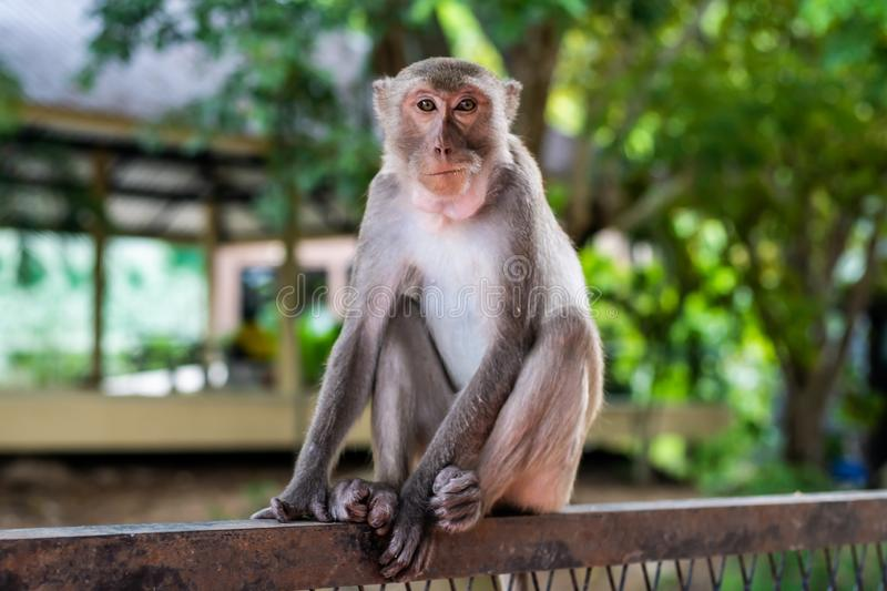 A pensive lonely monkey sits on a fence in the shade of a tree. The concept of animals in the zoo. stock photography