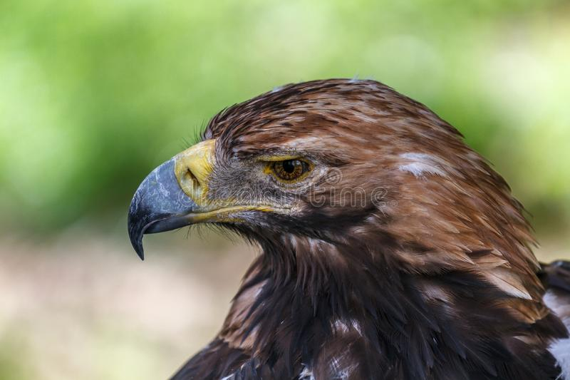 Pensive look of an eagle royalty free stock images