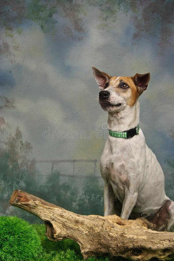 Pensive Mongrel Stock Images