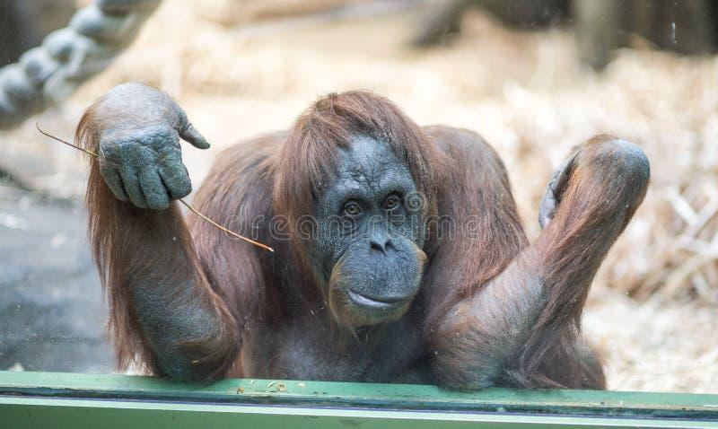 Pensive monkey stock image