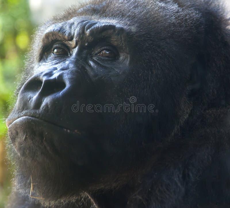 Pensive Orangutan Stock Photo