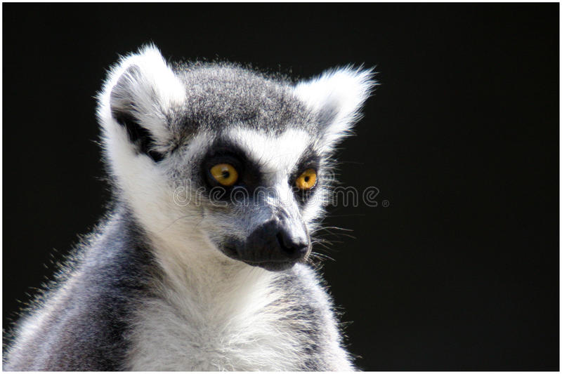 Pensive Ring Tailed Lemur stock photos