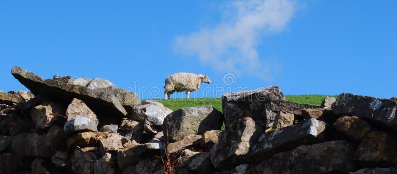 Pensive sheep royalty free stock image