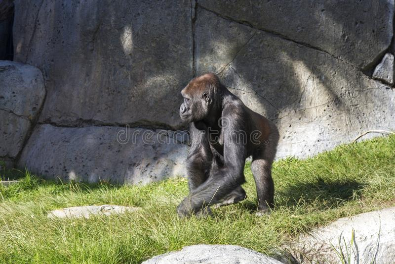Sub Saharan African Gorilla Walking in Animal Enclosure. Pensive Sub Saharan African Gorilla Gorilla Beringei Walking inside Animal Habitat Enclosure stock photos