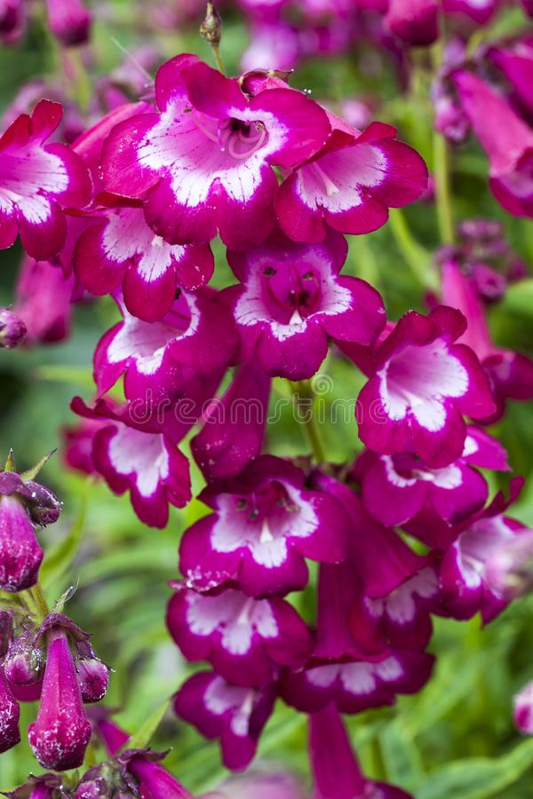 Penstemon 'Marilyn ' stockbilder