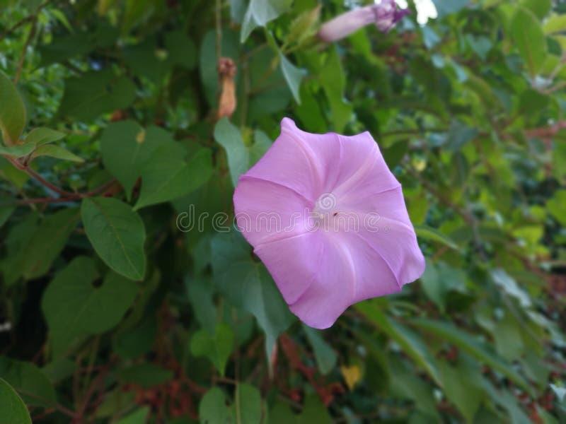 Pentagono naturale della pianta del fiore porpora fotografia stock