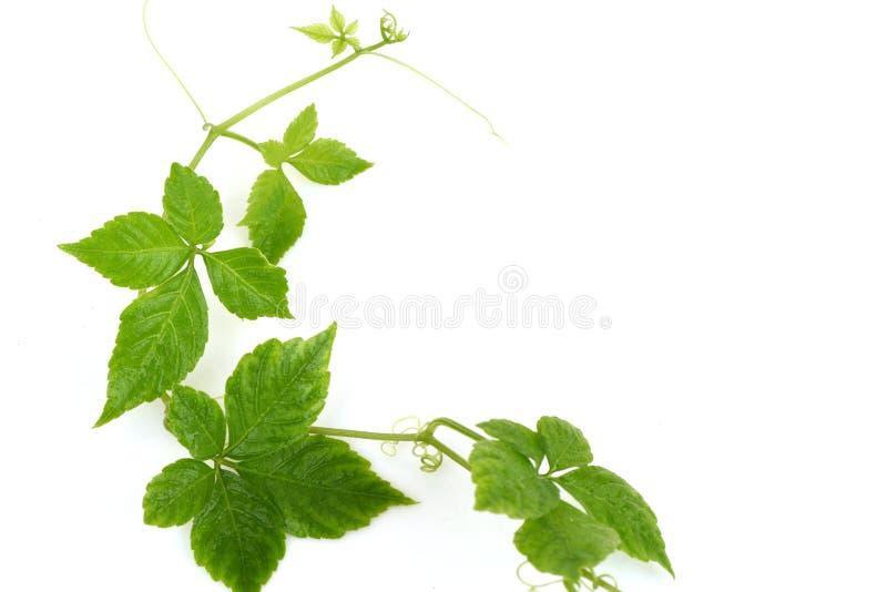 Pentaphyllum chinês Thunb Makino de Gynostemma do nome de Jiaogulan, folhas frescas imagens de stock royalty free