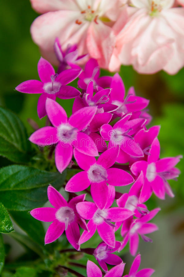 Pentas Egyptian Starcluster. Bright pink pentas in pot stock images