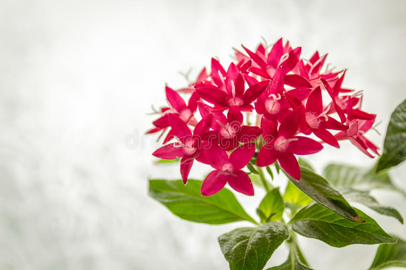 Pentas or Egyptian Star Cluster. Bright red pentas in pot on light background royalty free stock photos