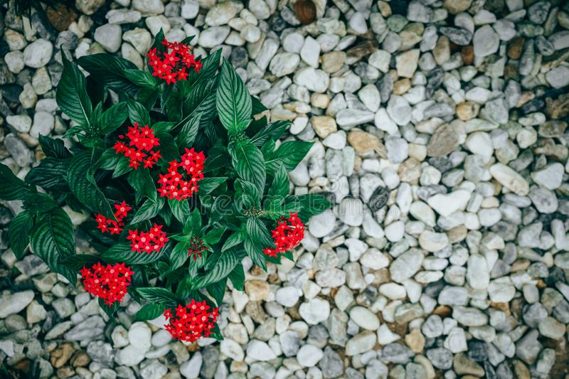 Pentas lanceolata or Egyptian star cluster flowers blooming. In garden stock photography