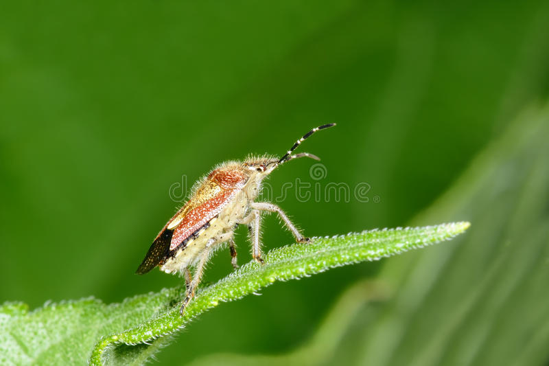 Download Pentatomidae stock photo. Image of details, insects, nature - 20289134