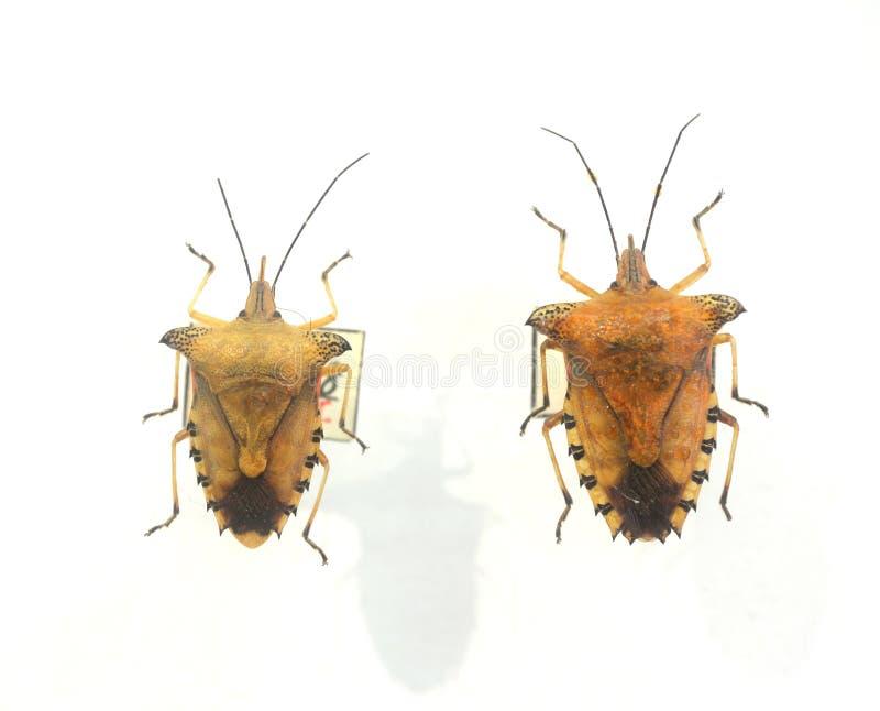 Pentatomidae стоковое изображение