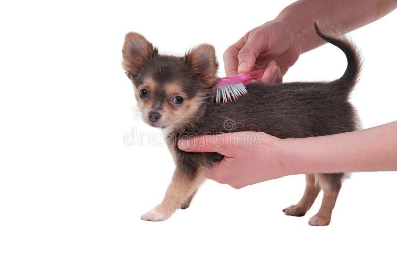 Penteando um filhote de cachorro da raça da chihuahua isolado imagens de stock royalty free