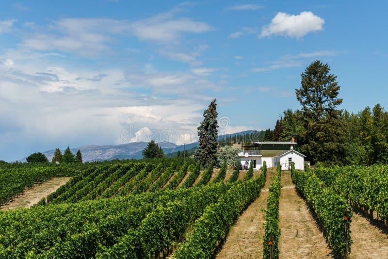 Penticton, Канада - 4-ое августа 2018: Взгляд виноградника в Британской Колумбии Канаде Penticton долины Okanagan стоковые фотографии rf