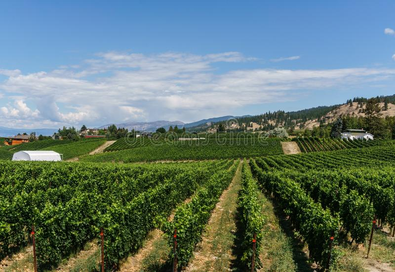 Penticton, Canada - August 04, 2018 : View of vineyard in the Okanagan Valley Penticton British Columbia Canada. Penticton, Canada - August 04, 2018 : View of royalty free stock photo