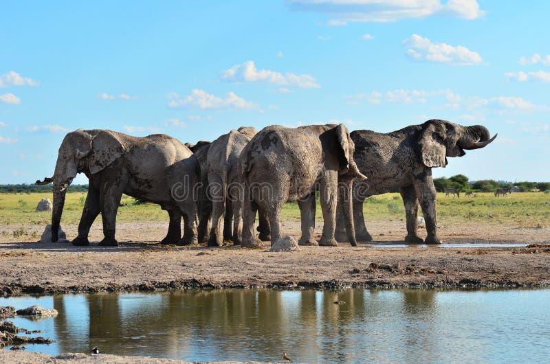Elefanti dalla pentola di Nxai nel Botswana fotografia stock libera da diritti