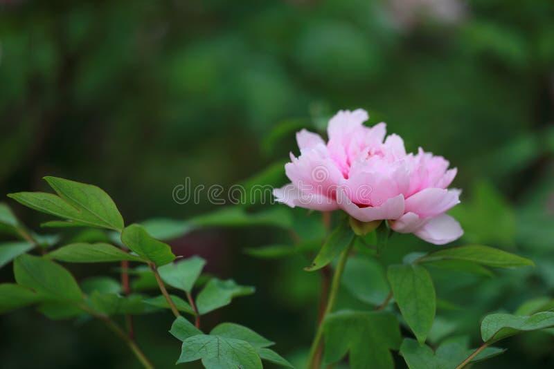 Peonía colorida rosada roja del control de la mano de la mujer bajo sol en flor bonita del paisaje del parque del otoño de la pri imagenes de archivo