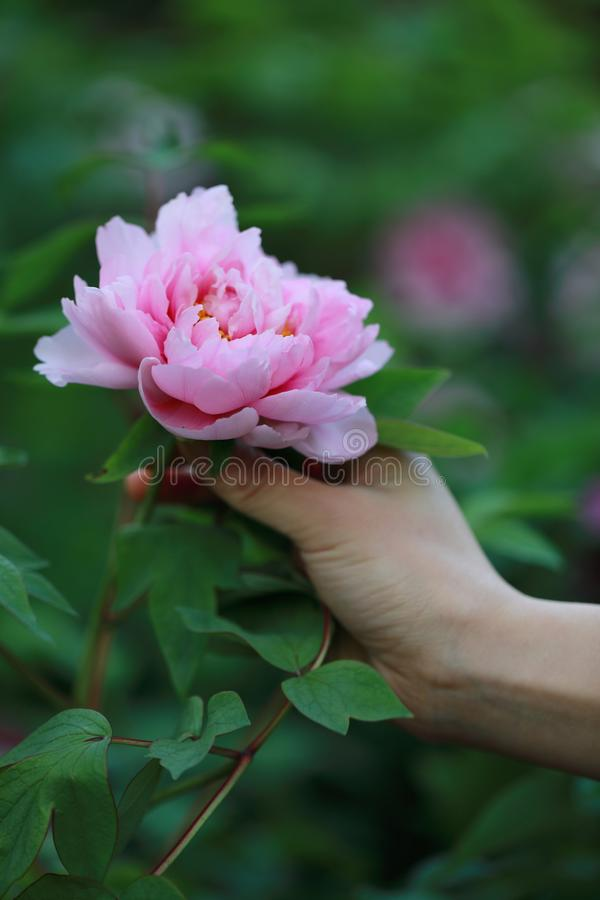 Peonía colorida rosada roja del control de la mano de la mujer bajo sol en flor bonita del paisaje del parque del otoño de la pri imágenes de archivo libres de regalías