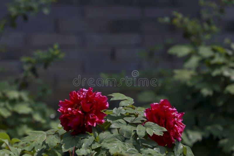 Peonía de dos rojos imagenes de archivo